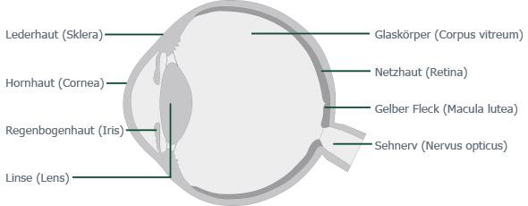 Anatomie und Funktion :: Das Auge :: Schilgen